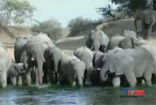 Elephants are to die for!